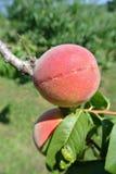 在树的两个成熟红色桃子在一个果树园在一个晴天 免版税库存照片