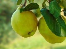 在树的两个柑橘 免版税库存图片