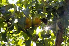 在树的两个梨与太阳 免版税图库摄影