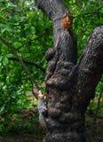 在树的两只灰鼠 免版税库存图片
