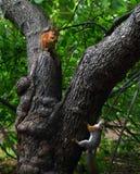 在树的两只灰鼠 免版税图库摄影