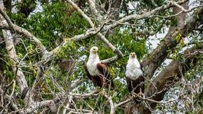 在树的两条非洲鱼老鹰乐队,肯尼亚 库存图片