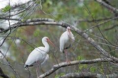 在树的两白色朱鹭 免版税库存图片