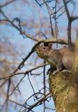 在树的中国灰鼠在斯大林公园 库存照片