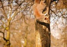 在树的中国灰鼠在斯大林公园 免版税图库摄影