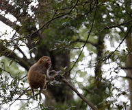 在树的中国短尾猿 免版税库存图片