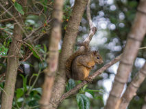 在树的中型松鼠 库存图片