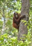 在树的中央Bornean猩猩类人猿pygmaeus wurmbii在自然生态环境 在婆罗洲的热带雨林的狂放的自然 库存图片