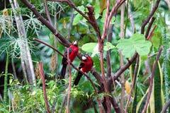 在树的二重齿状的热带巨嘴鸟 图库摄影