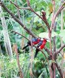 在树的二重齿状的热带巨嘴鸟 免版税库存图片