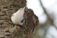 在树的五子雀 图库摄影