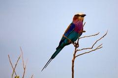 在树的五颜六色的鸟 图库摄影