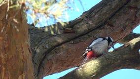 在树的伟大的被察觉的啄木鸟平底锅船身杉木锥体 股票视频