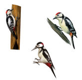 在树的伟大的被察觉的啄木鸟 库存照片