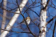 在树的共同的红弱鸟 库存图片