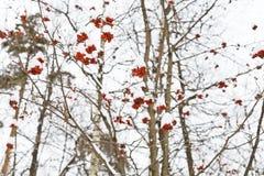 在树的冷冻红色花楸浆果 免版税库存照片