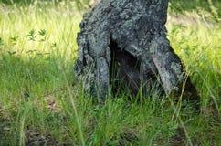 在树的凹陷 绿色森林 库存照片
