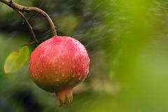 在树的分支的成熟石榴。 免版税库存图片
