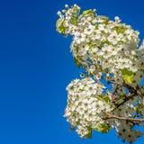在树的分支的框架方形的美味白花被隔绝反对清楚的天空蔚蓝 免版税库存图片