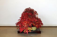 在树的分支的红色日本盆景槭树在罐的在木桌上 库存图片