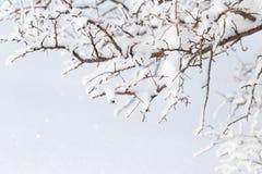 在树的分支的雪 库存照片