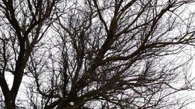 在树的分支背景的落的雪  来有冬天 股票录像