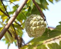 在树的南美番荔枝 免版税库存照片