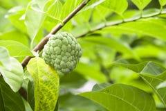 在树的南美番荔枝 库存图片