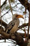 在树的南部的黄色开帐单的犀鸟 免版税库存图片