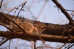 在树的受伤的灰鼠 库存图片