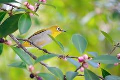 在树的可爱的Everetts白眼睛鸟 图库摄影