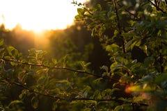 在树的叶子在夏天太阳 库存照片