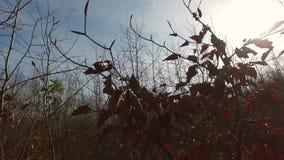 在树的叶子在早期的春天 股票视频