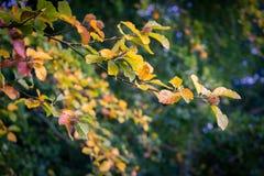 在树的叶子在早期的秋天期间 免版税库存照片