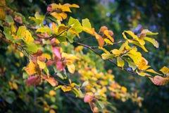 在树的叶子在早期的秋天期间 库存图片
