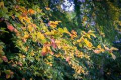 在树的叶子在早期的秋天期间 免版税库存图片