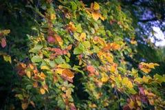 在树的叶子在早期的秋天期间 图库摄影
