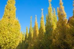 在树的叶子是从绿色的颜色变化对黄色有蓝天背景在秋天上在食用美丽的杜松子酒的美济礁津沽Gaien 库存照片