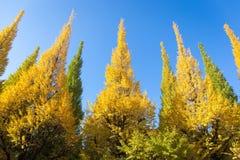 在树的叶子是从绿色的颜色变化对黄色有蓝天背景在秋天上在食用美丽的杜松子酒的美济礁津沽Gaien 免版税图库摄影
