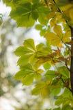 在树的叶子本质上在秋天 库存照片