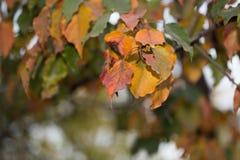 在树的叶子本质上在秋天 免版税库存照片
