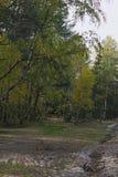 在树的叶子转动黄色 秋季森林 免版税库存图片