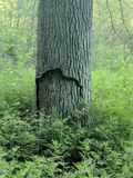 在树的吃鼠的蛇 库存图片
