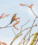 在树的吉拉啄木鸟 库存照片