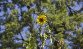 在树的向日葵 库存图片