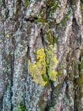 在树的吠声的地衣 库存图片