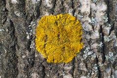 在树的吠声的黄色地衣 库存图片