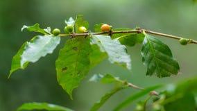 在树的咖啡豆在泰国的北部 免版税库存图片