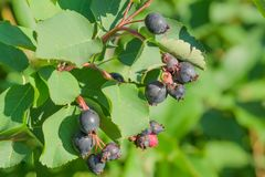 在树的唐棣属莓果 免版税库存图片