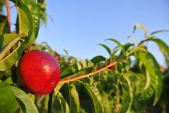 在树的唯一成熟红色油桃在一个晴朗的下午的一个果树园 免版税库存照片